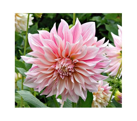 How To Grow Dahlias White Flower Farm Growing Dahlias Dahlia Flower