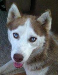 I Found Merrick New On Husky Siberian Husky Dog Husky Grooming