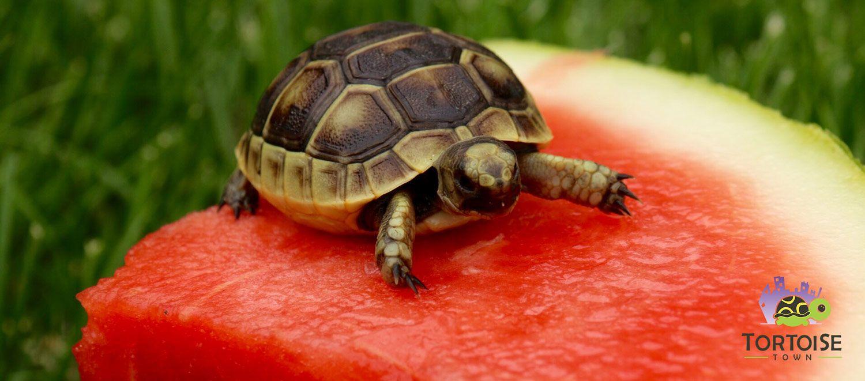 Ibera Greek Tortoise For Sale Baby Greek Tortoise Hatchlings For Sale Online Tortoise Tortoise Care Small Tortoise