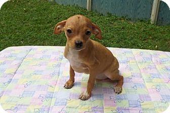 Ocala Fl Chihuahua Dachshund Mix Meet Carley A Puppy For