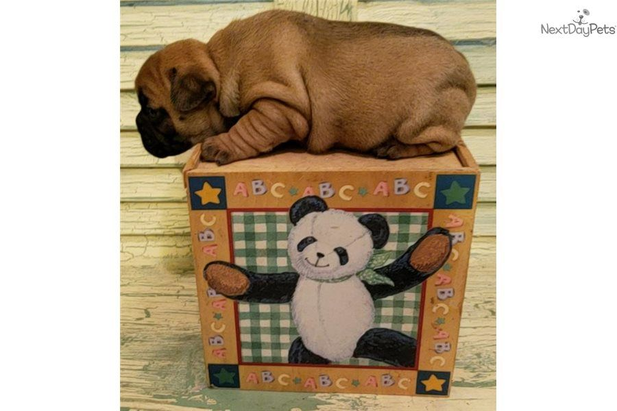 Presley French Bulldog Puppy For Sale Near Houston Texas
