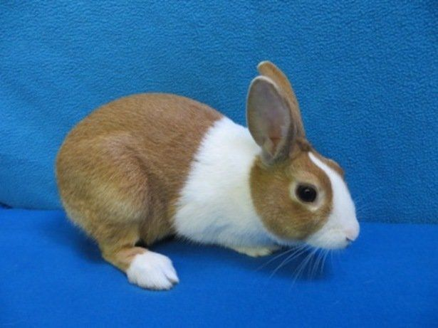 There Are 15 Compact Type Breeds American Fuzzy Lop