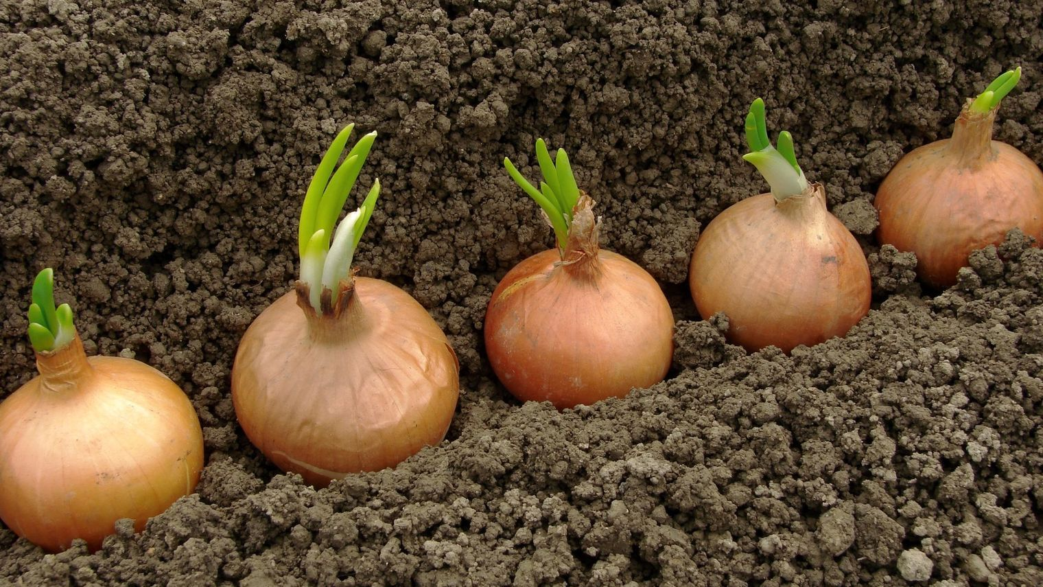 Comment Cultiver Les Oignons Épinglé sur jardinage