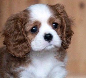 Teacup King Charles Cavalier Spaniel Fluffy Animals Cute