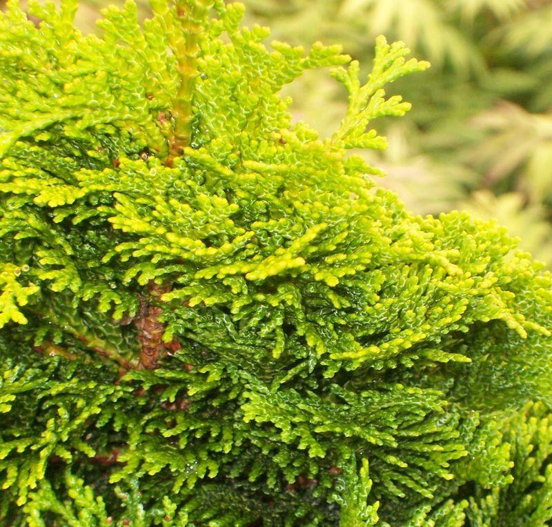 Chamaecyparis Obtusa Nana Aurea Online From Jacksons Nurseries