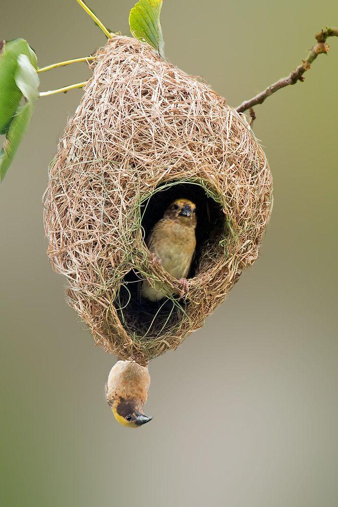 Weaver Birds Bros Bunte Vogel