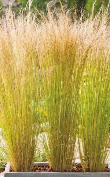 Das hoch wachsende Federgras u201eWindspielu201c bietet optimalen - garten pflanzen sichtschutz