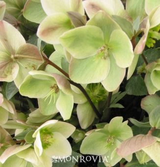 Ivory Prince Lenten Rose. For the shady part of the back yard.