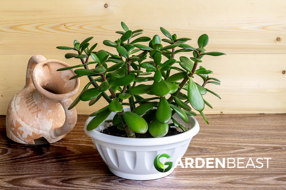 Complete Guide To Jade Plants How To Plant Grow Care For Money Plants Jade Plants Plants Easy Plants