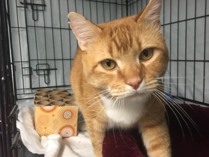 Oscar Is An Adoptable Domestic Short Hair Orange And White Searching For A Forever Family Near Warwick Ri Use Pe Domestic Short Hair Pets Short Hair Styles