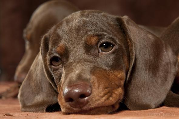 Kurzhaarteckel Vom Lambrechter Tal Aktuelles Ich Liebe Hunde