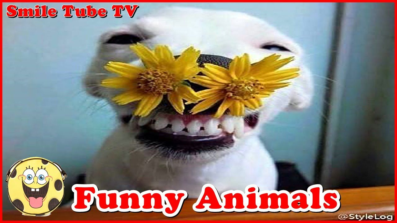 Funny videos 2016 Funny animals compilation try not to