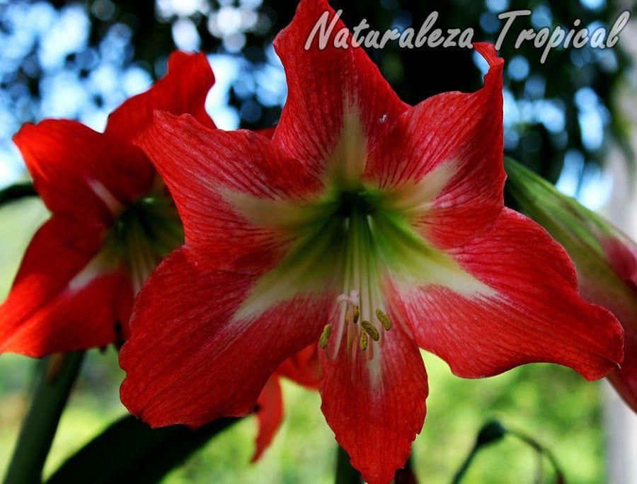 Flor de una especie del g nero hemerocallis lirio rojo for Especies ornamentales