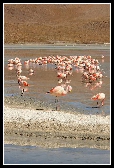 The lakes in Southern Bolivia are all different colors from the harsh chemicals that permeate the soil. Flamingos which thrive on plankton and algea live on many of the lakes. They endure freezing cold temperatures most of the year.