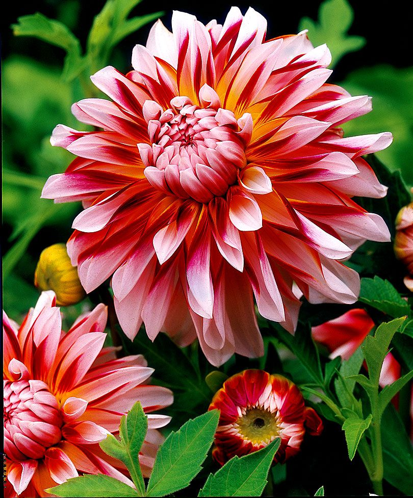 57 Amazing Beautiful Garden Ideas Inspiration And: Maura And Her Beautiful Dahlias. This Is Dahlia Caribbean