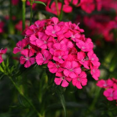 Dianthus Jolt Cherry Dianthus Care Dianthus Barbatus Pink Dianthus