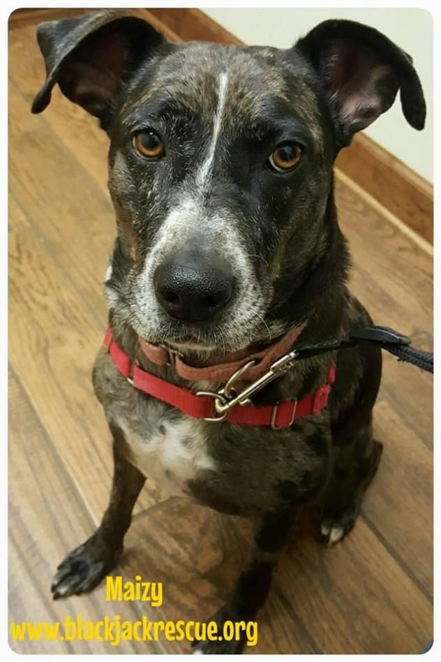 Adopt Maizy On Catahoula Leopard Dog Dog Adoption Leopard Dog