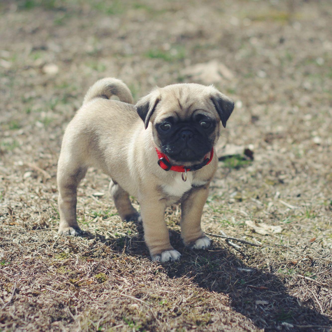 Boomer The Pug Cutest Pug On Instagram Cute Pugs Dogs Pets