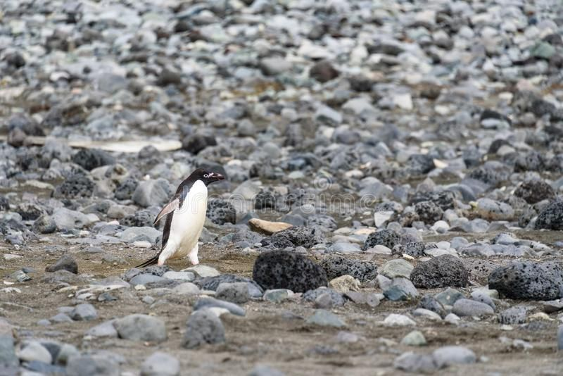Adelie Penguin walking down the rocky beach alone, South Shetland Islands, Antar , #Affiliate, #walking, #rocky, #Adelie, #Penguin, #beach #ad #shetlandislands