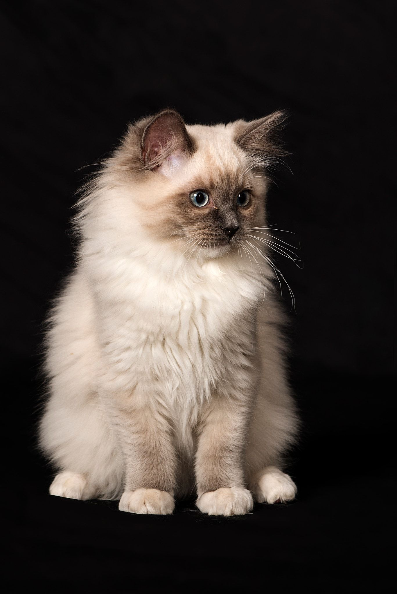 best images ideas of ragdoll kitten kitty most affectionate