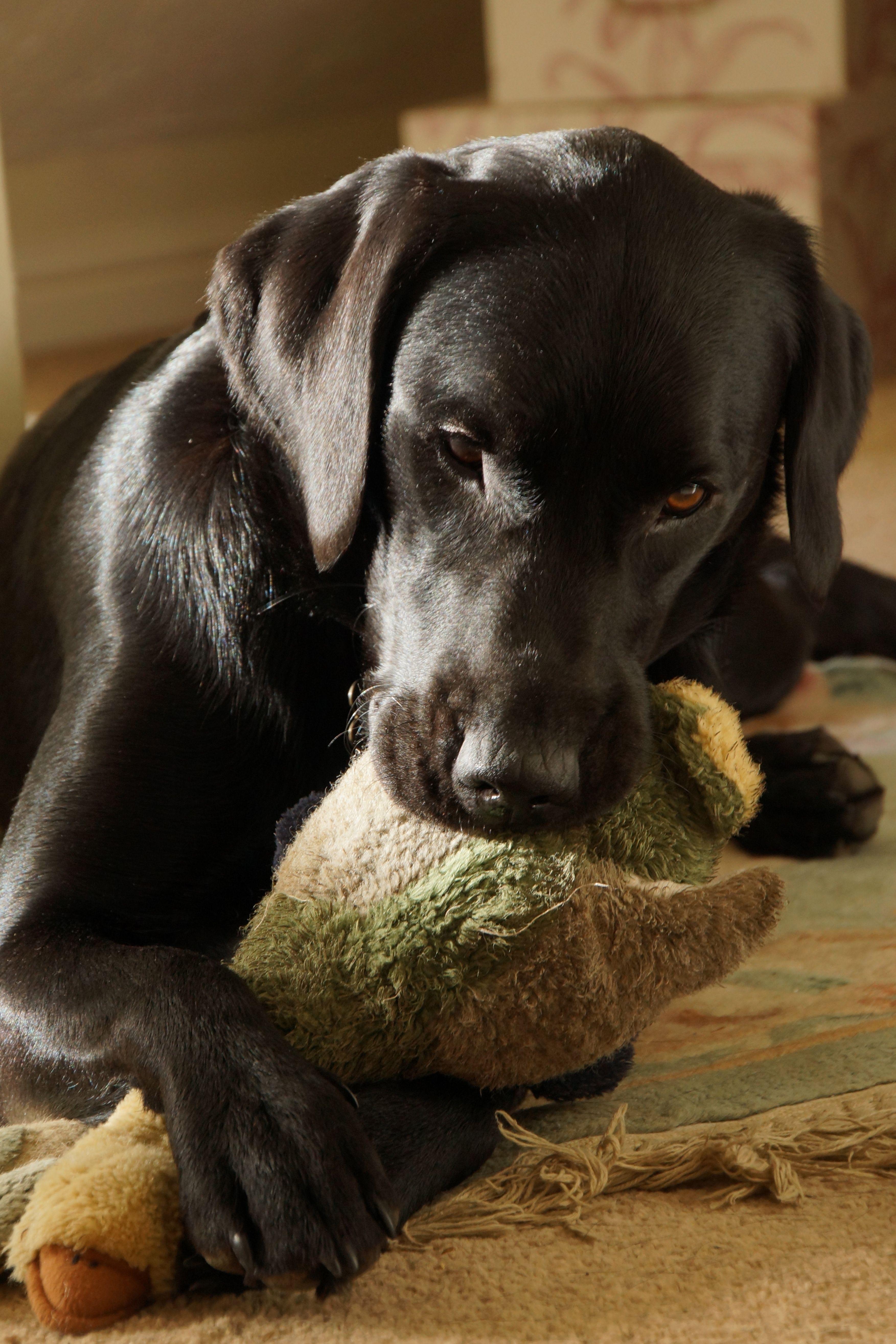 Young Black Labrador suckling her duck toy Labrador