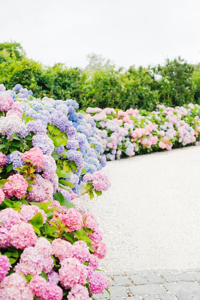 Hydrangea Heaven Framed Nantucket Art Print Etsy Flower Landscape Hydrangea Season Beautiful Flowers