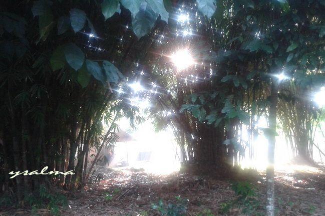 Pesona Pagi Diantara Rumpun Bambu
