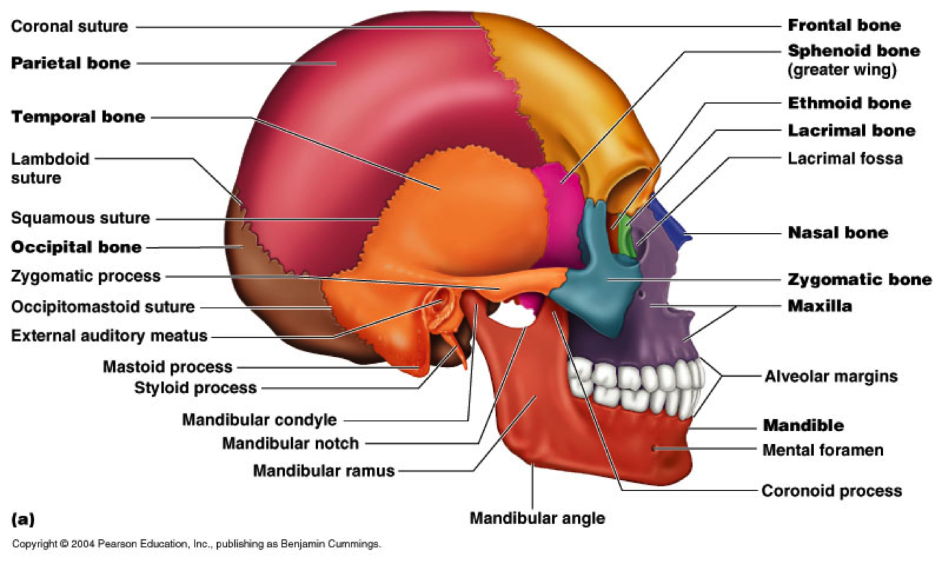 Pin By Michael Milano On Anatomy Face Facial Bones