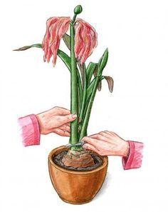 Photo of ▷ Amaryllis: Pflege & Blume zum Blühen bringen