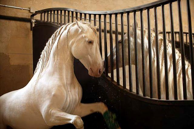 Bartabas At Versailles Amazing Horses Amp Riders France