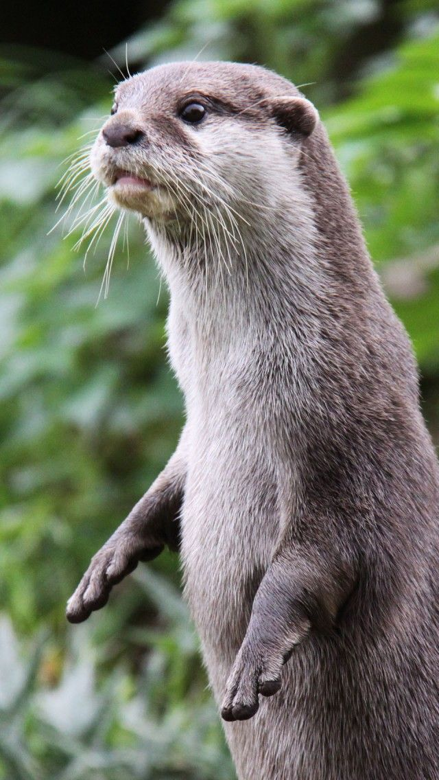 Otter Stands Alert Iphone 5 Wallpapers Backgrounds 640 X 1136