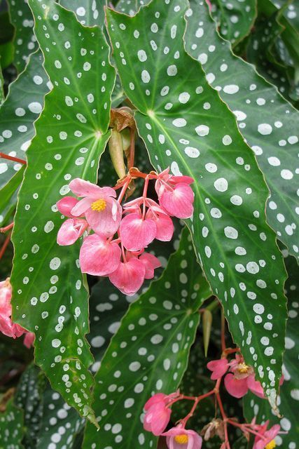 Hang Your Angel Wing Begonia Outside For The Summer Hot Weather