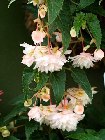 Beautiful Begonia Begonia Beautiful Flowers Pictures Most Beautiful Flowers