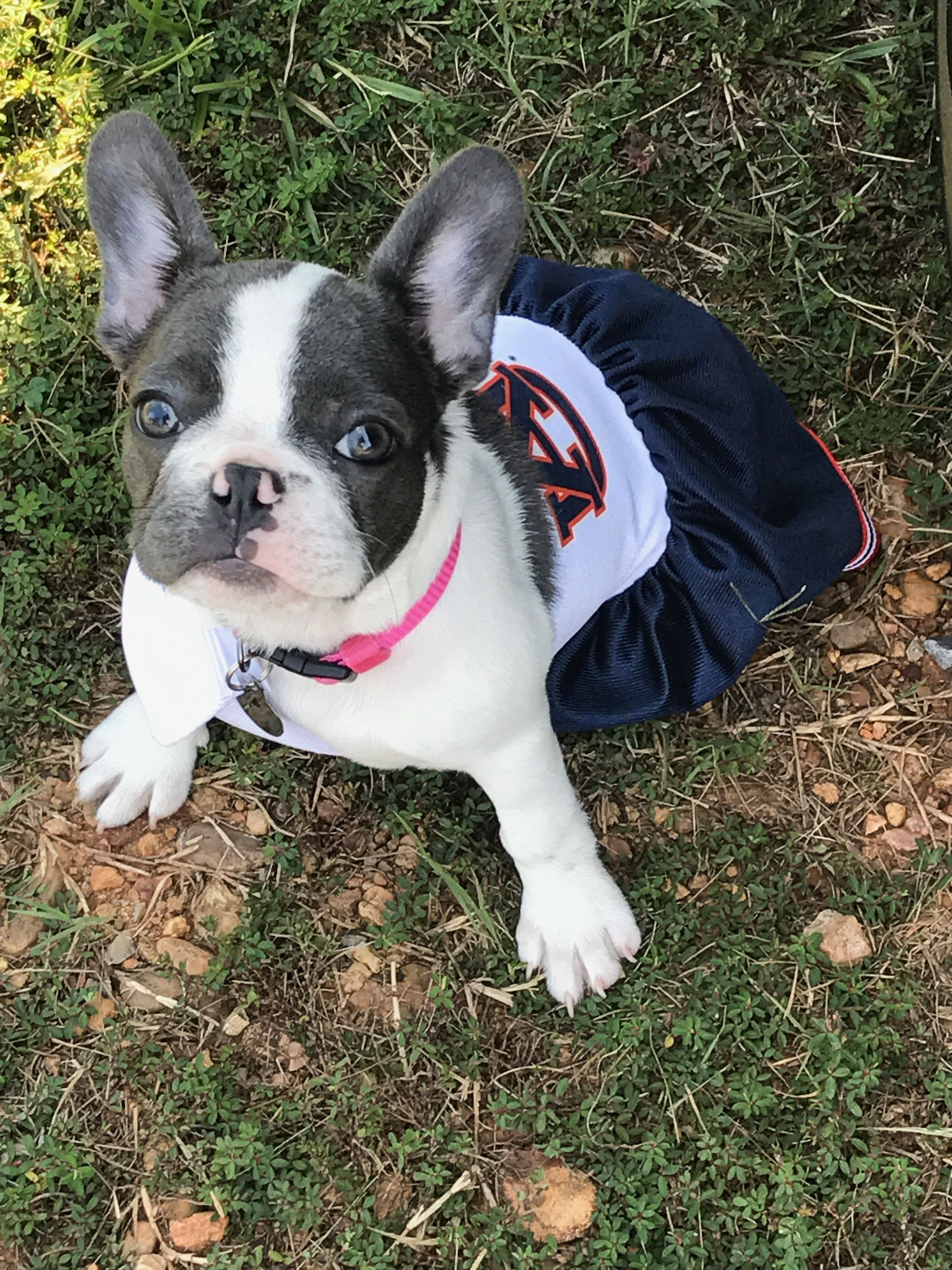 Blue Pied Frenchie on gameday French bulldog, Pied