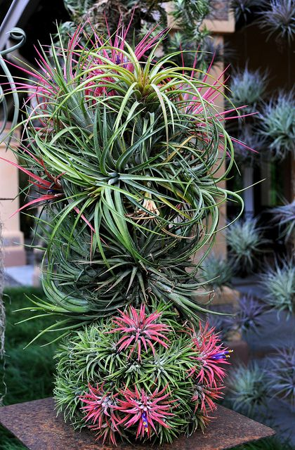 air plant topiary bloom where u r planted air plants plants types of air plants. Black Bedroom Furniture Sets. Home Design Ideas