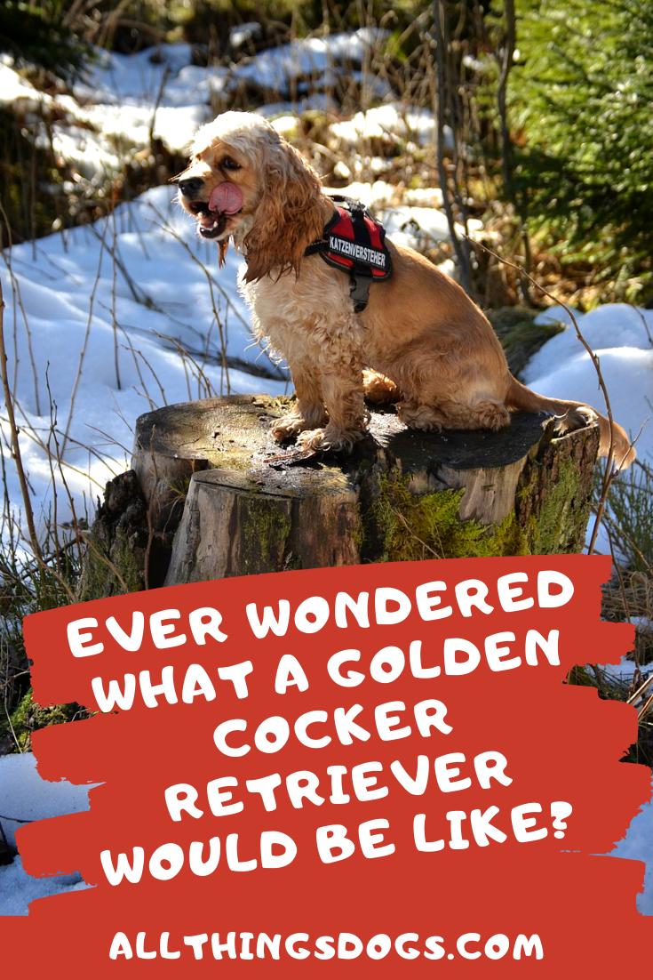 Ever Wondered What A Golden Cocker Retriever Would Be Like Golden Cocker Golden Cocker Retriever Golden Retriever Dog Breeds