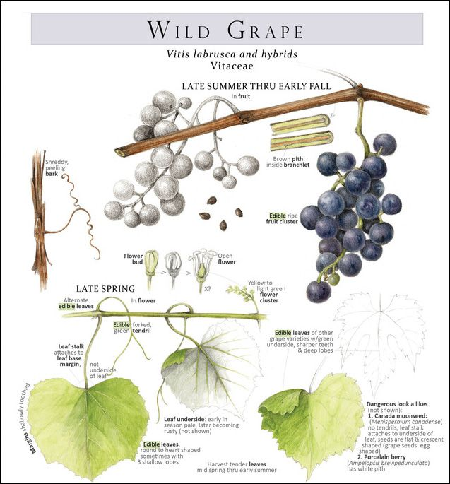 I think I have wild grapes, but I'm not sure.