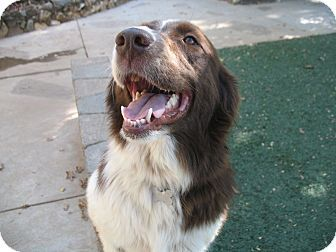 Corning Ca Border Collie Mix Meet Sheba A Dog For Adoption Dog Adoption Border Collie Collie