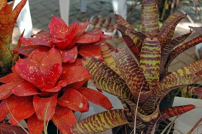 FLORACIONES EN MÁLAGA Y MÁS: Feria de cactus y otras plantas de colección