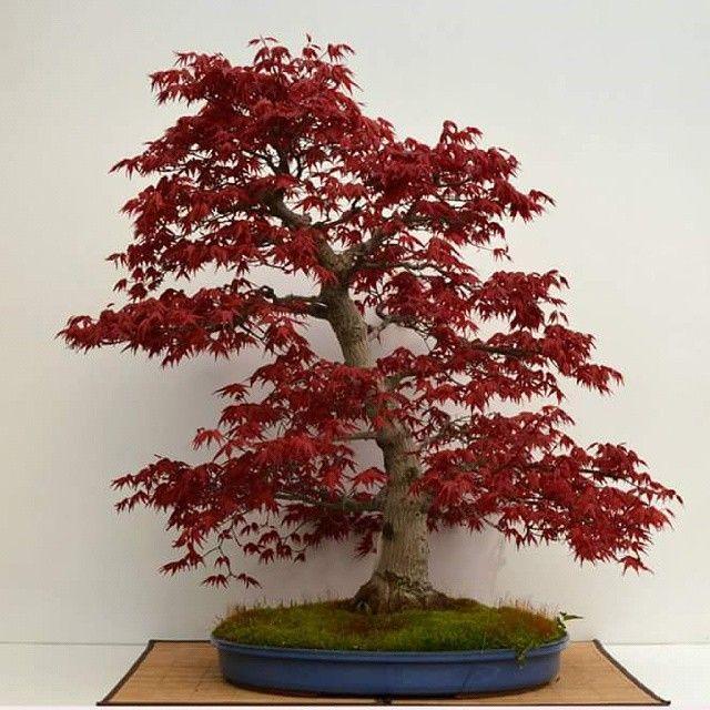 Arce palmatum.  Si quieres aprender en nuestra escuela de bonsái,  pide información ahora en cursos@bonsaikido.com www.bonsaikido.com #bonsaikido #bonsai #cursosdebonsai