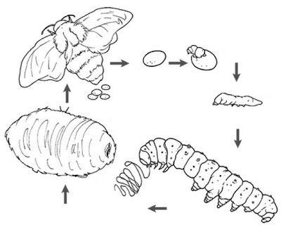 Manual del científico: La metamorfosis del gusano de seda