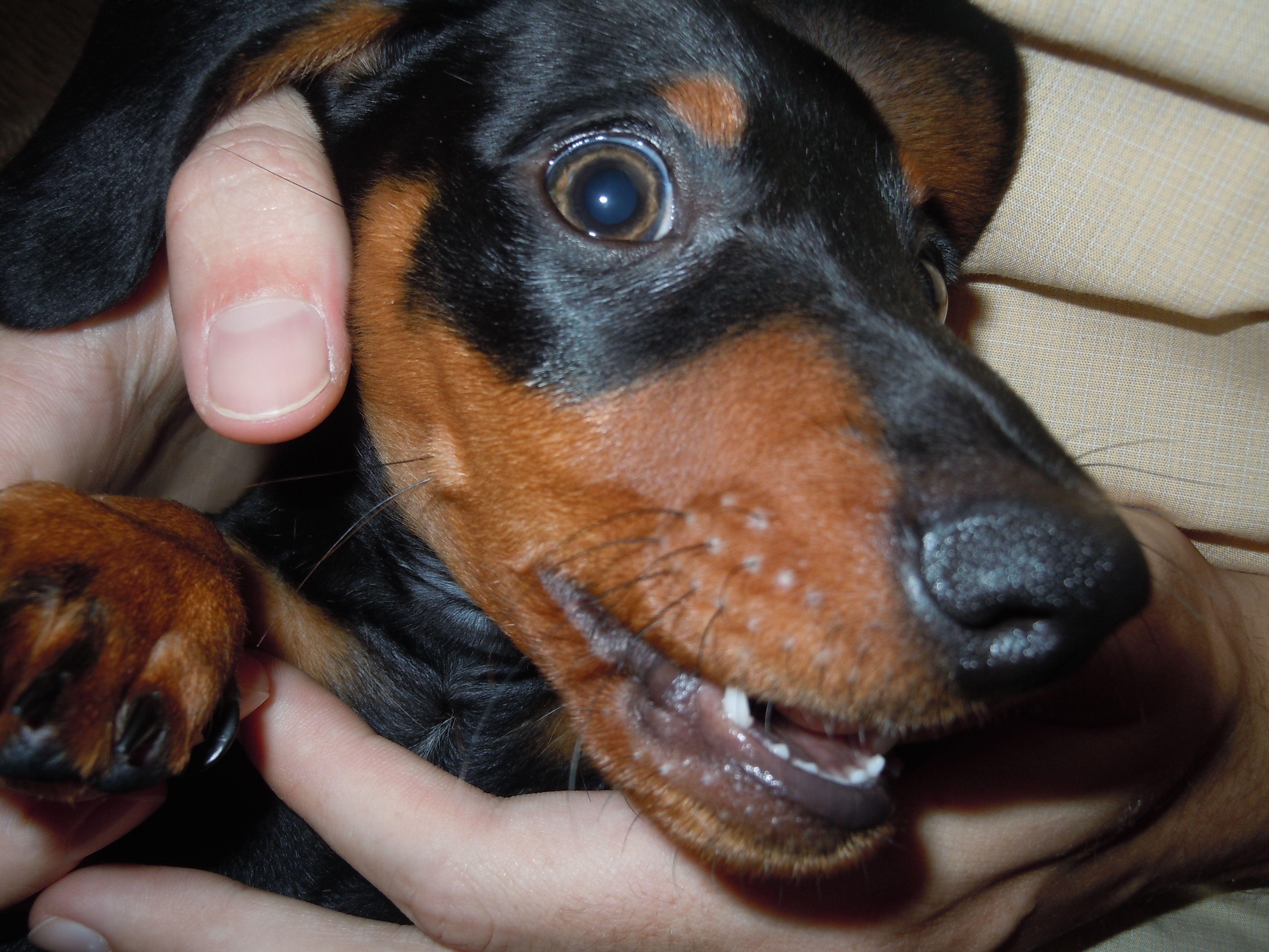 """weiner dog """"Baby teeth"""" Dachshunds Pinterest Weiner"""
