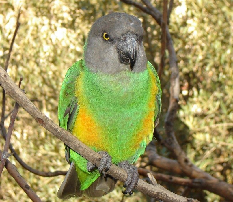 Top 10 Most Affectionate Birds In The World Topteny Com Senegal Parrot Parrot Bird Breeds