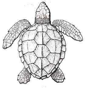 Sea Turtle Realistic Coloring Page