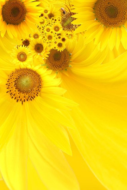 Sunflower background picture material  5
