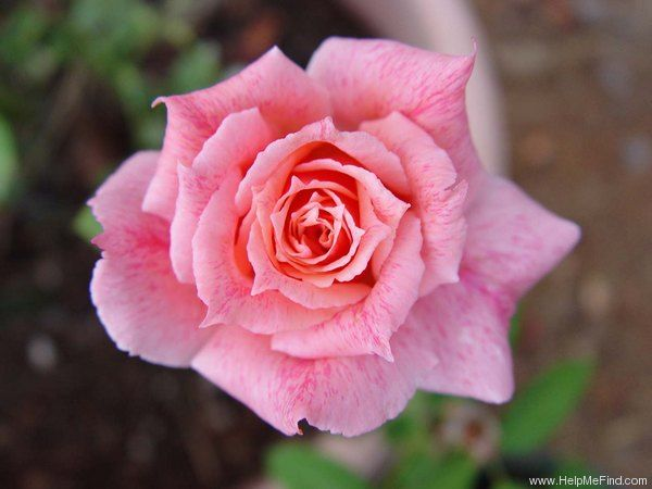 """ Freckle Face "" - Buck Roses Collection - Shrub rose - Pink blend - Clove fragrance - Dr Griffith J. Buck (US), 1976"