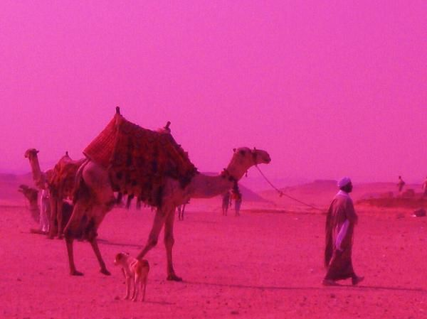 Camel in pink photo by Alice Butera