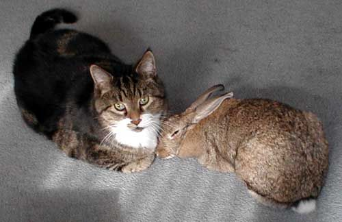 Cats & Rabbits: A guide for introducing kitties & bunnies so they can live together & likely become friends! #companion #harmony #love