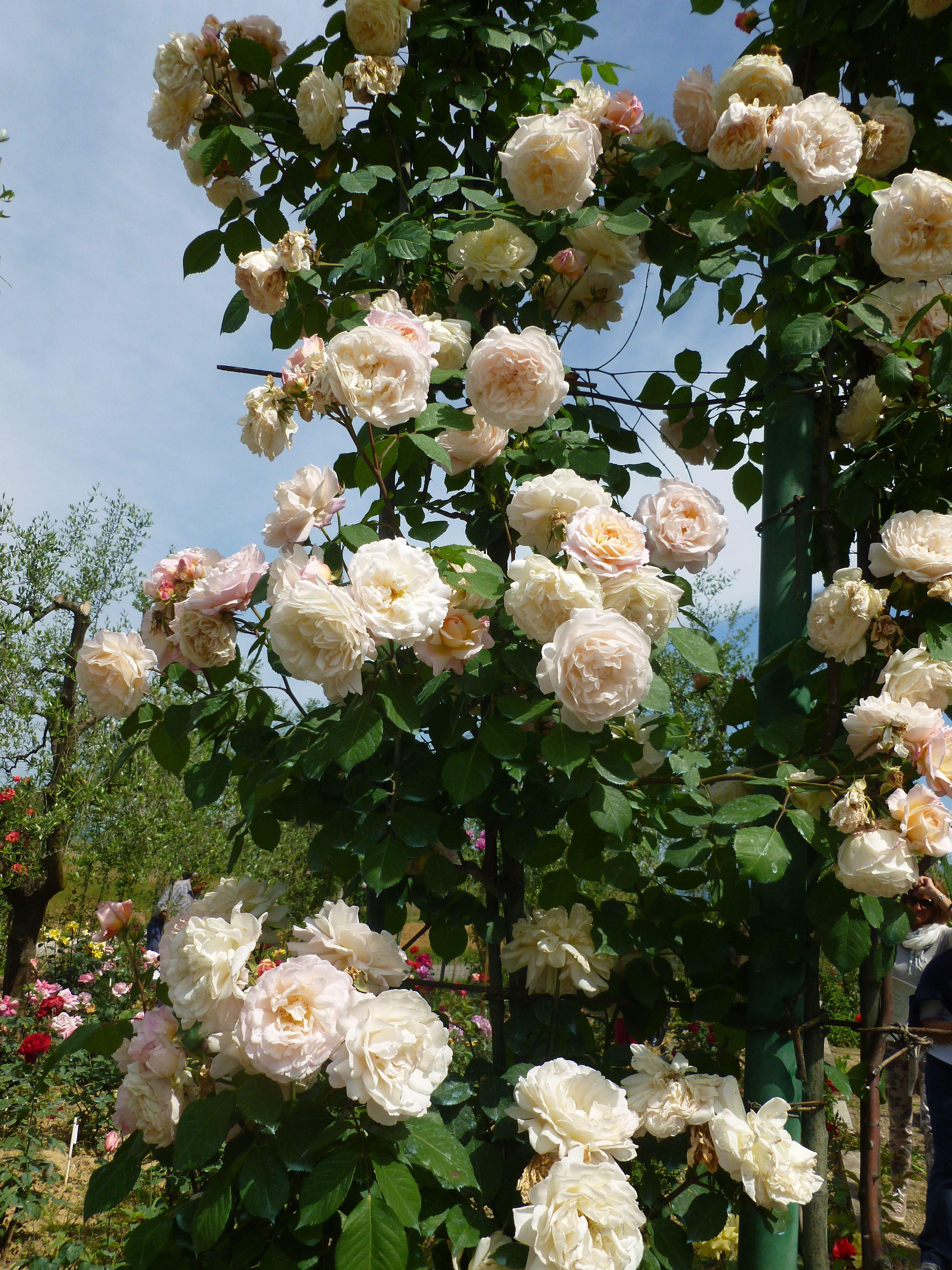 Rose rampicanti al Roseto Fineschi di Cavriglia - Arezzo- Italy