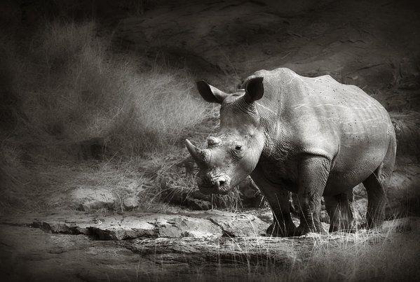 Rhinoceros Animal Photograph Nature Wall Art Poster Print Wildlife Photo